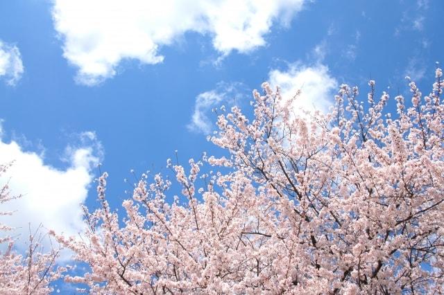 桜がきれいなお花見におすすめスポット/東京都内